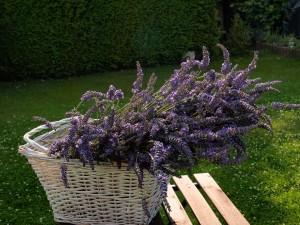 La flor de lavanda se usa para extraer jabones