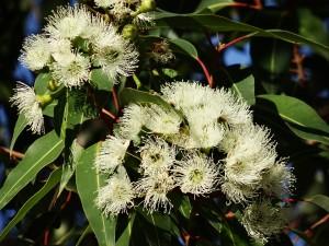 Extración del jabon artesanal a través de la flor de eucalipto
